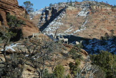 Bighorn Sheep on the Canyon Overlook Trail