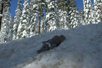 Anteater sleding in Lake Tahoe