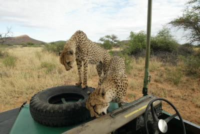 Cheetah climb aboard at Okonjima
