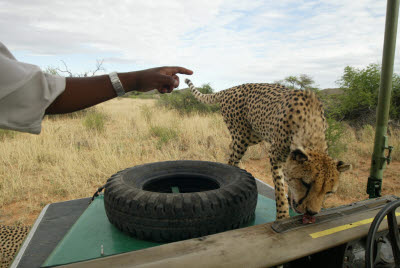 Guide demonstrates poor vision of Cheetahs