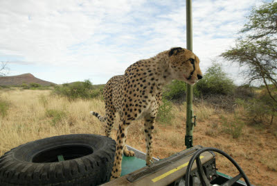 Cheetah looks at action on other truck