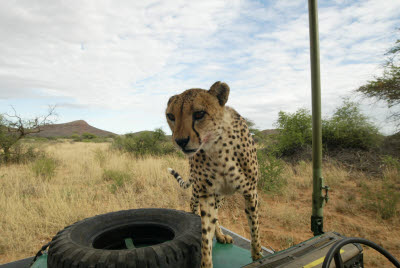 Cheetah checks out passengers