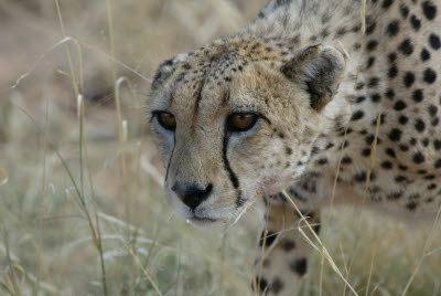 Cheetahs mouth waters with anticipation of a goshawk meal