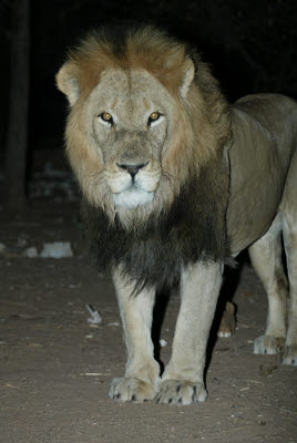 Night Lion Feed at Mt. Etjo