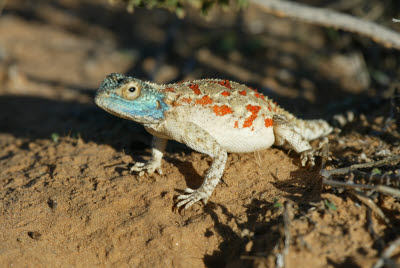 Ground Agama Lizard