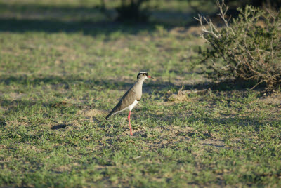 Crowned Plover of Namibia