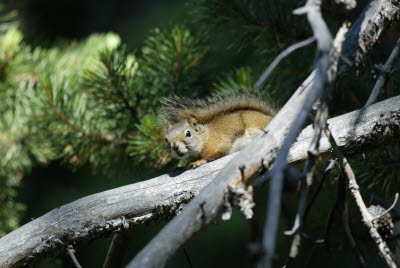 Squirrel in Yellowstone