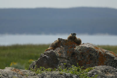 Yellow-Bellied Marmot in Yellowstone NP