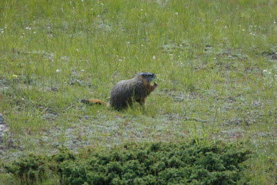 Marmot nibbles on a grass stem
