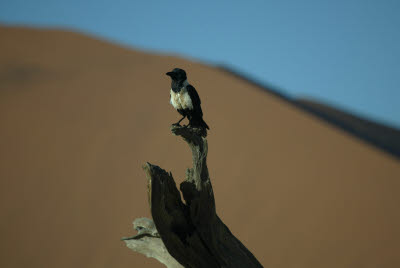 Pied Crow near Dune 45