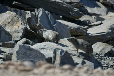 Rock Dassies near the Tropic of Capricorn