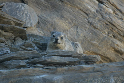 Rock Dassie gives us the evil eye