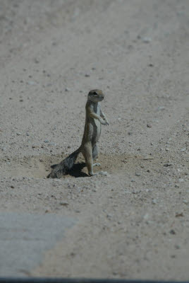 Namibian Squirrel