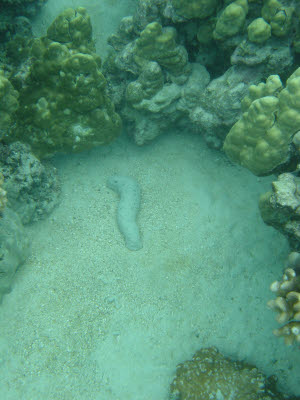 Sea Cucumber in Hawaii