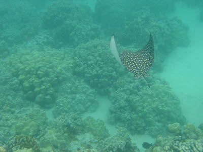 Spotted Eagle Ray in Hawaii