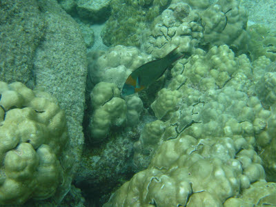 Saddle Wrasse in Hawaii
