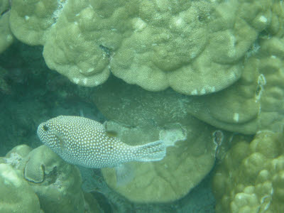 Spotted Puffer in Hawaii