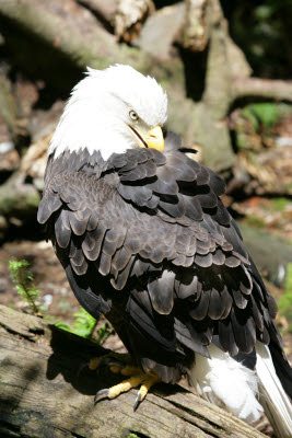 Bald Eagle at Northwest Trek
