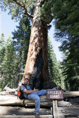 Giant Grizzly in Mariposa Grove, Yosemite, NP