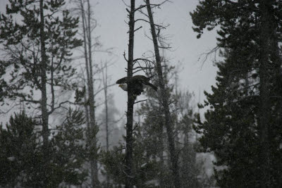 Bald Eagle in Yellowstone, NP