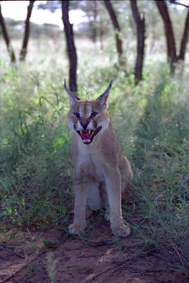 Caracal puts on a display