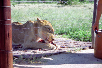 Lioness feeding at Harnas