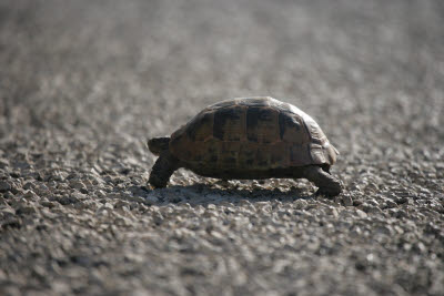 Tortoise crossing the road to Pinara