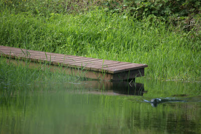 River otter swims past the dock in the trout pond