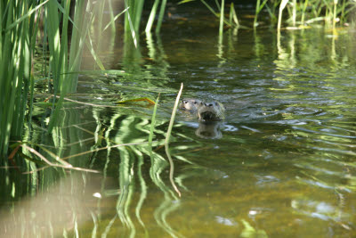 A pair of river otters in the trout pond