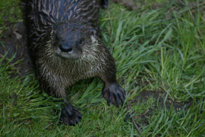 River Otter at Salmonier Nature Park