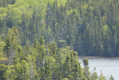 Bald Eagle at Terra Nova