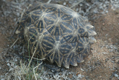 Desert tortoise in hiding