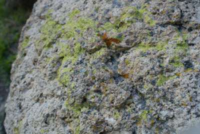 Lichens on a Rock
