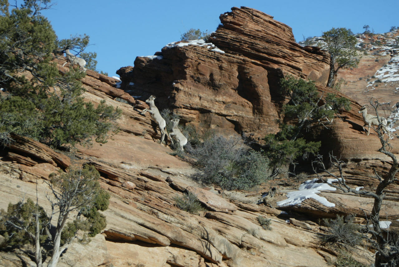 bighorn sheep on the canyon